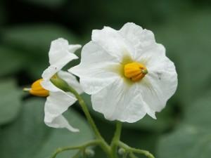 potato-blossom-184993_640-300x225
